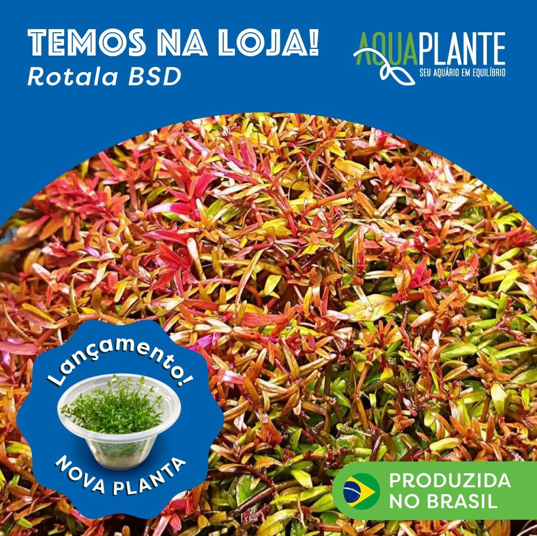 ROTALA BSD 'In vitro planta 100% Limpa de pragas e algas'
