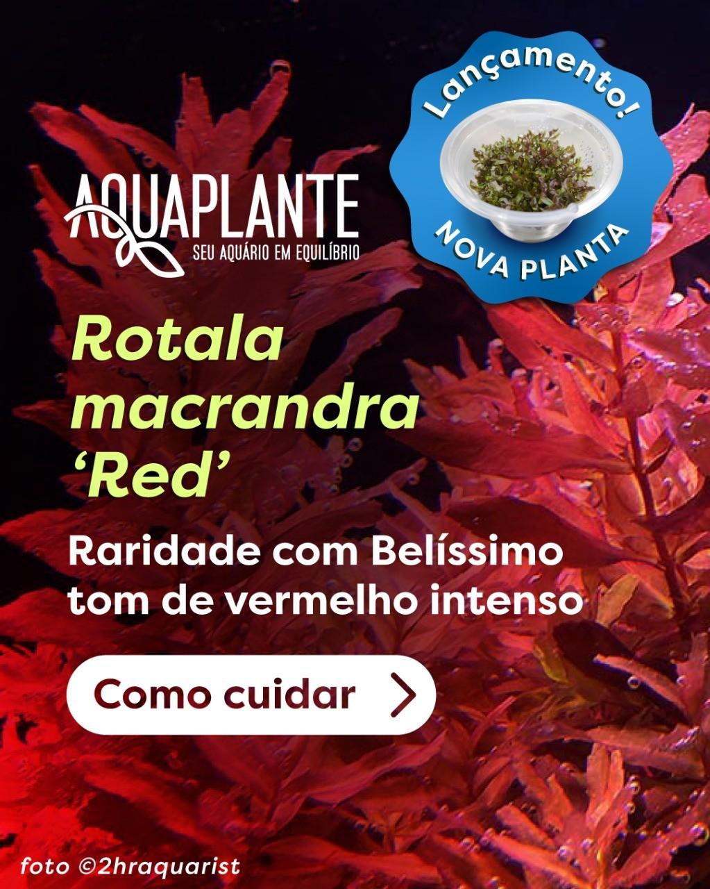 ROTALA MACRANDRA RED 'In vitro planta 100% Limpa de pragas e algas'