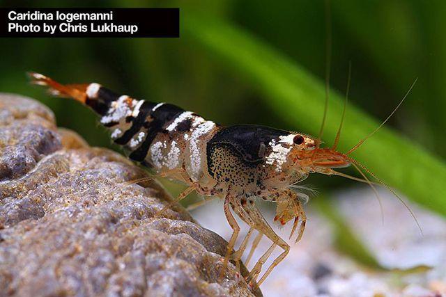 Wild bee - Camarão