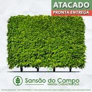 PRÉ VENDA - Sementes de Sansão do Campo (Cerca Viva) - Mimosa caesalpiniifolia - Mundo das Sementes