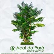 Sementes de Açaí do Pará  - Euterpe oleracea  - Árvore - Mundo das Sementes