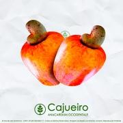 Sementes de Cajú - Anacardium occidentale - Frutífera - Mundo das Sementes