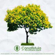 Sementes de Canafístula - Peltophorum dubium - Mundo das Sementes