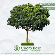 Sementes de Cedro Rosa (Verão) - Cedrela fissilis - Atacado - Mundo das Sementes
