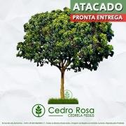 Sementes de Cedro Rosa (Verão) - Cedrela fissilis - Pronta Entrega - Mundo das Sementes