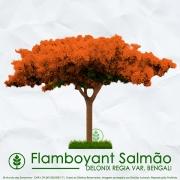 Sementes de Flamboyant Salmão - Delonix regia var. bengali - Mundo das Sementes