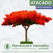 Sementes de Flamboyant Vermelho - Delonix regia - Atacado - Mundo das Sementes
