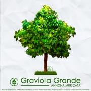 Sementes de Graviola Grande - Annona muricata - Mundo das Sementes