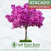 Sementes de Ipê Roxo de Bola - Tabebuia impetiginosa - Pronta Entrega - Mundo das Sementes