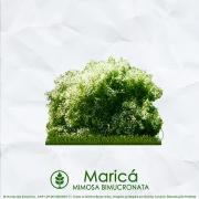 Sementes de Maricá (Arbusto) - Mimosa bimucronata - Mundo das Sementes