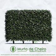 Sementes de Murta de Cheiro (Cerca Viva) - Murraya Paniculata - Mundo das Sementes