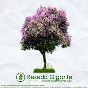 Sementes de Resedá Gigante (Verão) - Lagerstroemia speciosa - Mundo das Sementes