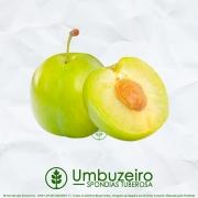 Sementes de Umbú - Spondias tuberosa (Frutífera) - Mundo das Sementes