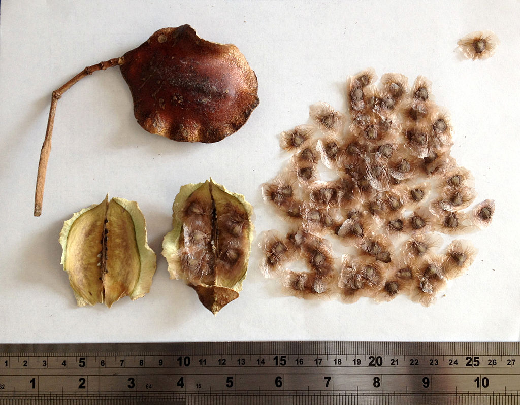 Sementes de Jacarandá Mimoso - Jacaranda mimosifolia - Atacado - Mundo das Sementes
