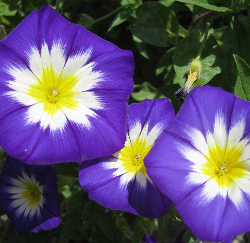 Sementes de Bela-da-Manhã Tricolor Sortida Convolvulus - Feltrin