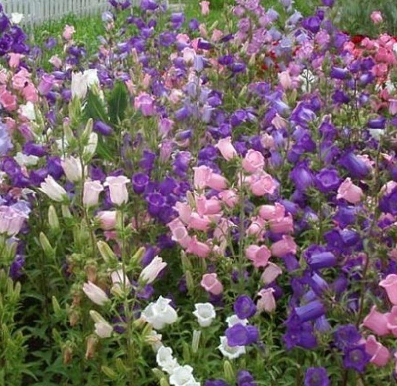 Sementes de Campainha-dos-Jardins Dobrada Sortida - Feltrin