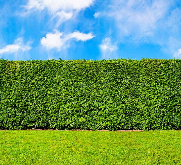 PRÉ VENDA - Sementes de Sansão do Campo (Árvore) - Mimosa caesalpiniifolia - Mundo das Sementes