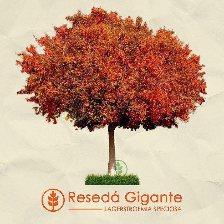 Kit Outono Tropical - 60 Sementes - Gonçalo, Resedá Gigante, Cedro Rosa - Mundo das Sementes