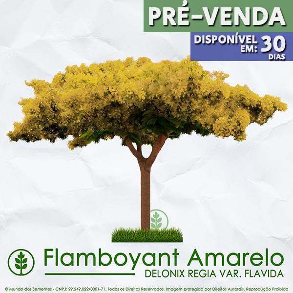 PRÉ VENDA - Sementes de Flamboyant Amarelo - Delonix regia var. flavida - Mundo das Sementes