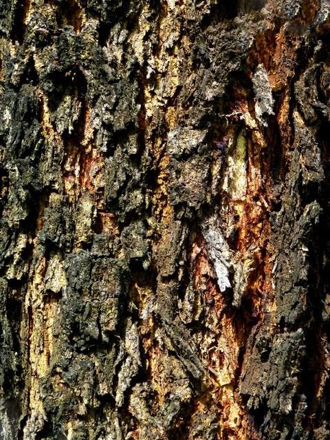 Sementes de Acacia Mangium Australiana - Atacado  - Mundo das Sementes