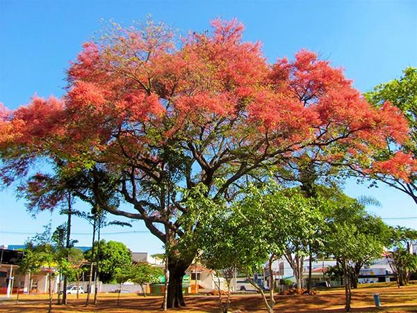 Sementes de Acácia Rosa – Cassia grandis - Mundo das Sementes