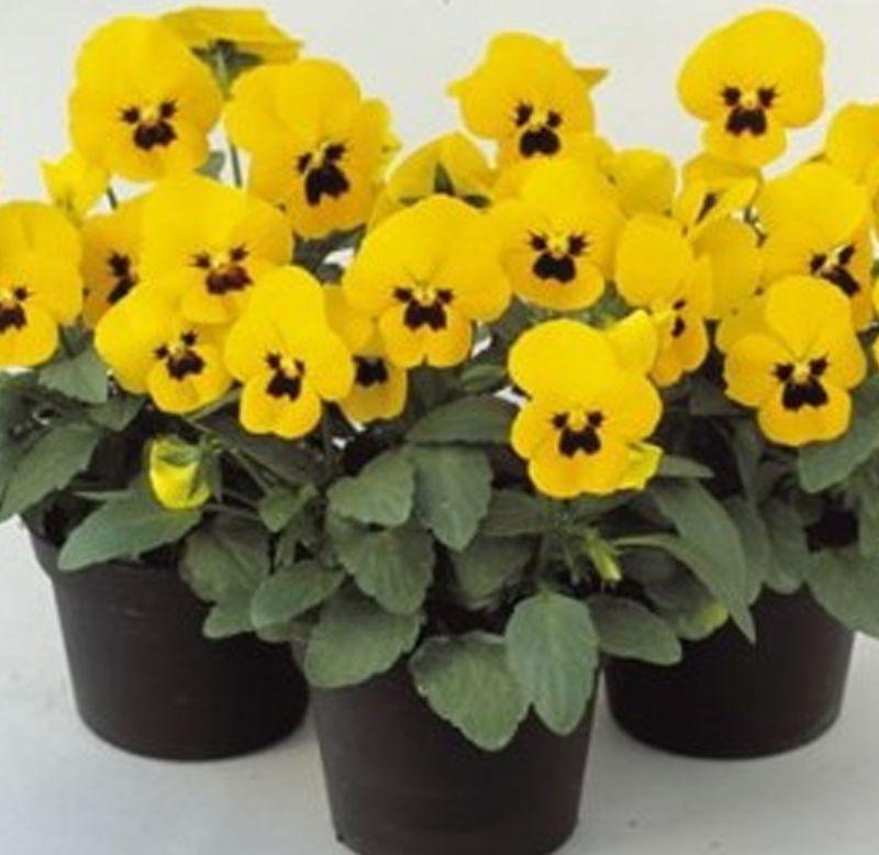 Sementes de Amor-Perfeito Amarelo Gigante Suíço - Feltrin