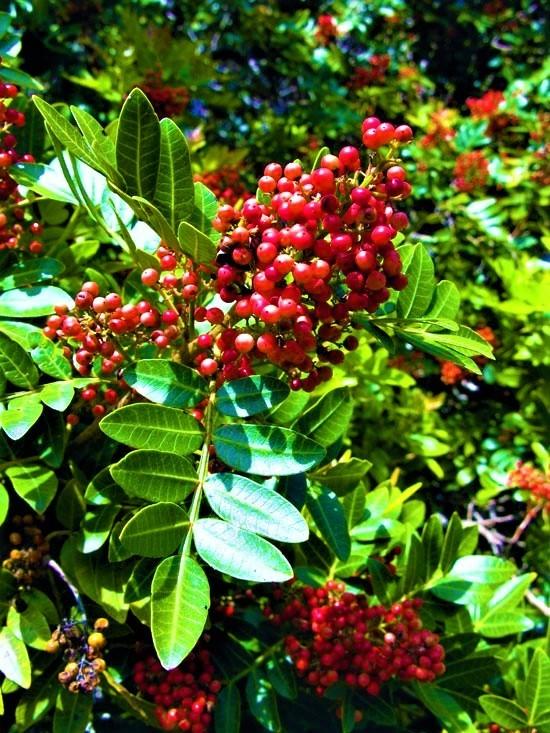 Sementes de Aroeira Pimenteira / Pimenta Rosa - Schinus terebinthifolius - Atacado - Mundo das Sementes