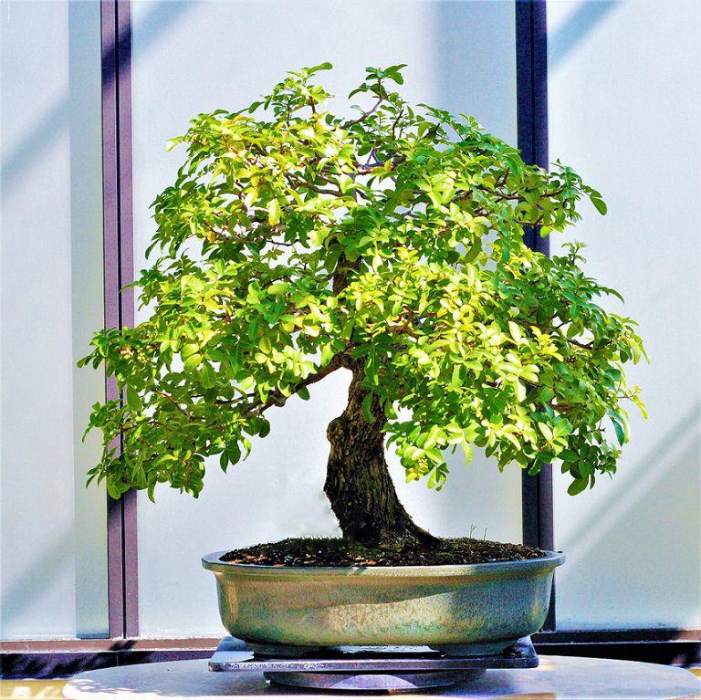 Sementes de Aroeira Pimenteira / Pimenta Rosa - Schinus terebinthifolius - Árvore - Pronta Entrega - Mundo das Sementes