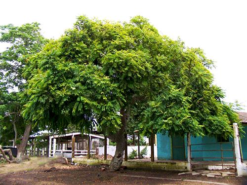 Sementes de Cajá Cajá / Teperebá - Spondias mombin - Frutífera - Mundo das Sementes
