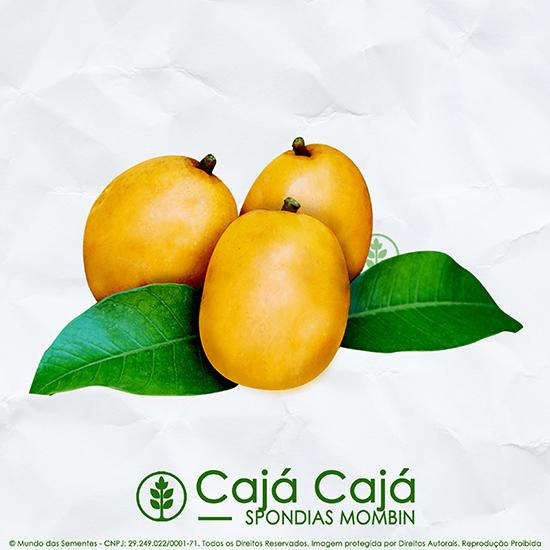 Sementes de Cajá Cajá / Teperebá - Spondias mombin - Árvore - Mundo das Sementes