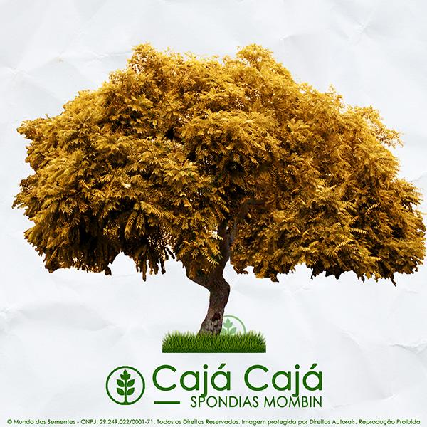 Sementes de Cajá Cajá / Teperebá (Outono) - Spondias mombin - Mundo das Sementes
