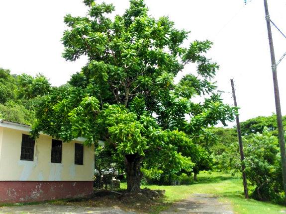 Sementes de Cajá Manga  - Spondias dulcis - Frutífera - Mundo das Sementes