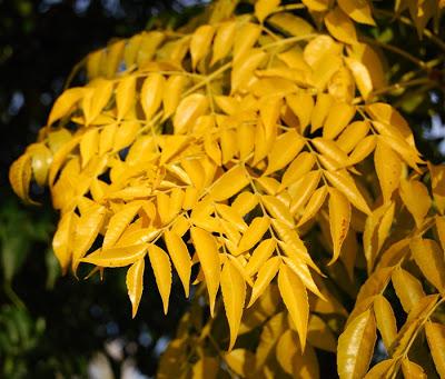 Sementes de Cajá Manga (Outono) - Spondias dulcis - Mundo das Sementes