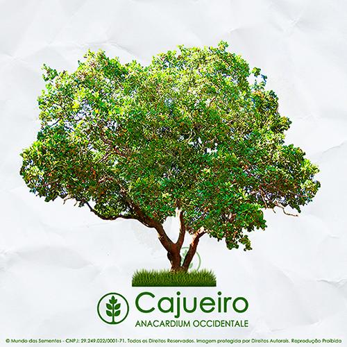 Sementes de Cajú - Anacardium occidentale - Mundo das Sementes