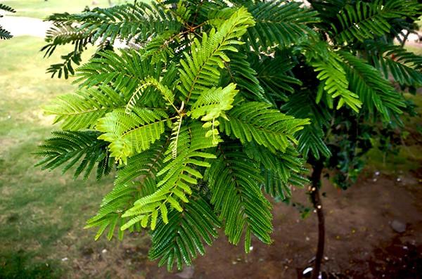 Sementes de Canafístula - Peltophorum dubium - Atacado - Mundo das Sementes