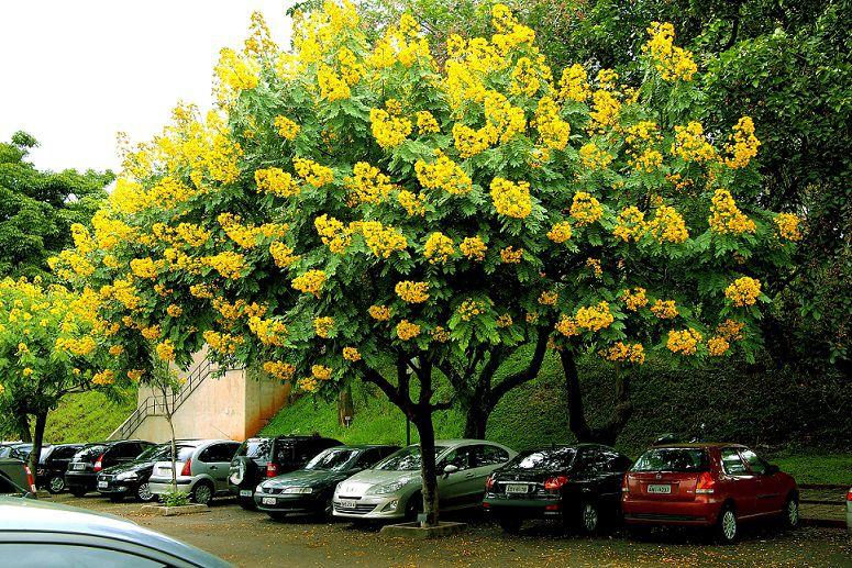 Sementes de Cassia do Nordeste - Senna spectabilis - Mundo das Sementes