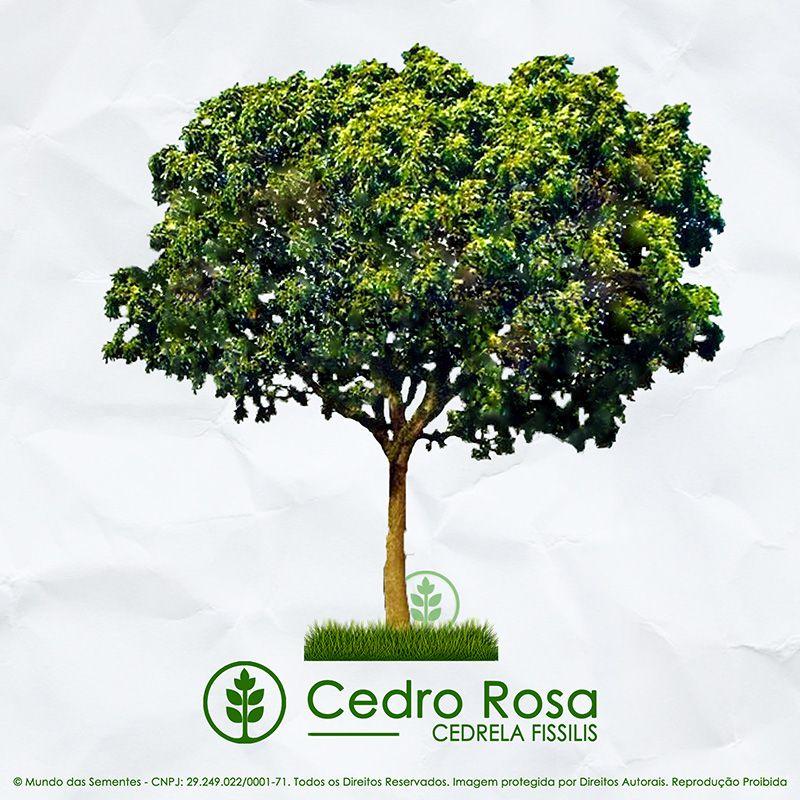 Sementes de Cedro Rosa (Verão) - Cedrela fissilis - Mundo das Sementes
