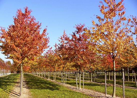 Sementes de Cereja Doce  Prunus avium - Frutífera - Mundo das Sementes