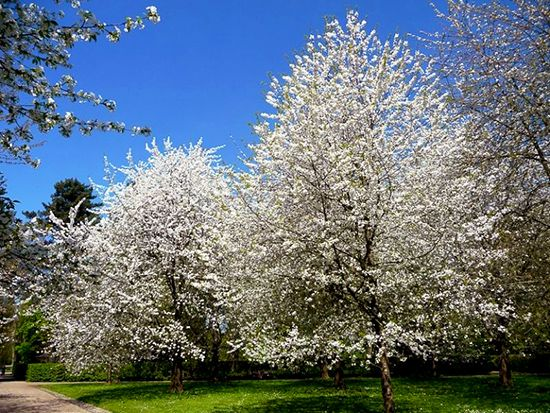 Sementes de Cerejeira / Cereja Doce (Primavera) – Prunus avium - Mundo das Sementes