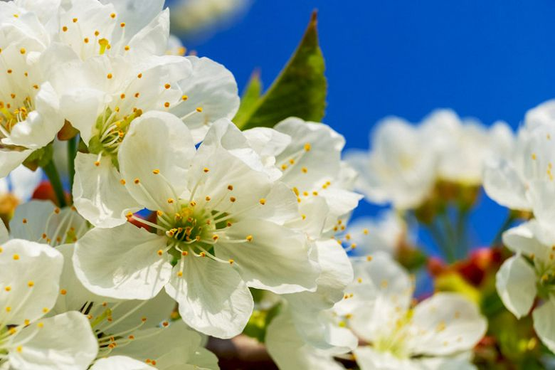 Sementes de Cerejeira / Cereja Doce (Outono) – Prunus avium - Mundo das Sementes