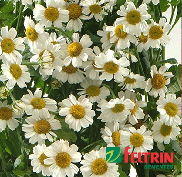 Sementes de Crisantemo Singelo Branco - Feltrin