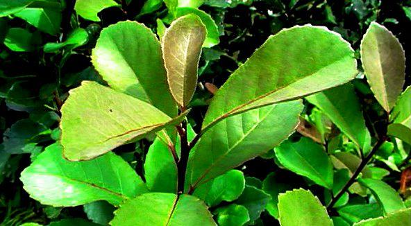 Sementes de Erva Mate - Ilex Paraguariensis - Mundo das Sementes