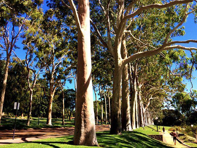 Sementes de Eucalipto Limão Cheiroso - Eucalyptus citriodora - Mundo das Sementes