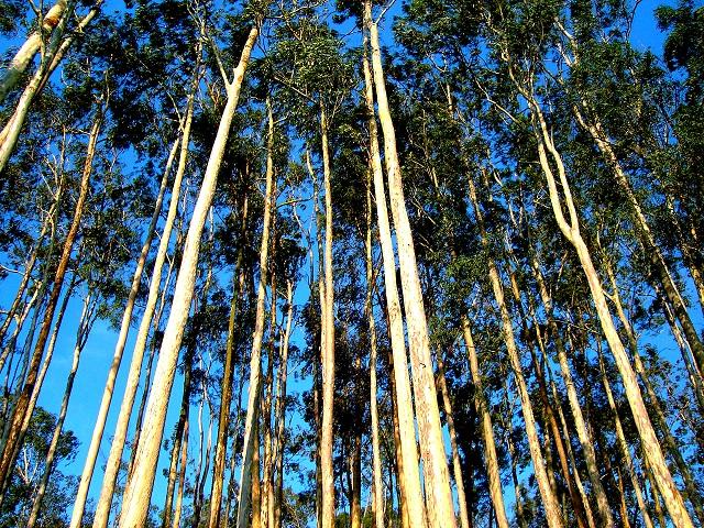 Sementes de Eucalipto Limão Cheiroso - Eucalyptus citriodora - Pronta Entrega - Mundo das Sementes