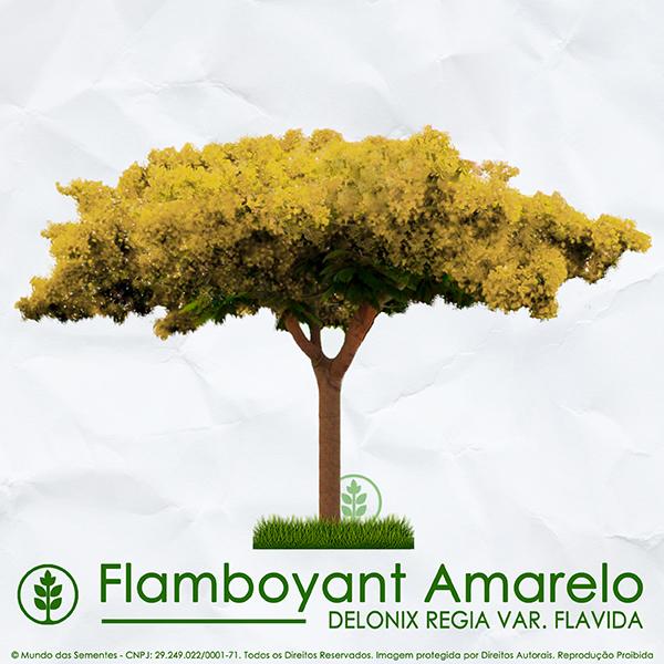 Sementes de Flamboyant Amarelo - Delonix regia var. flavida - Mundo das Sementes