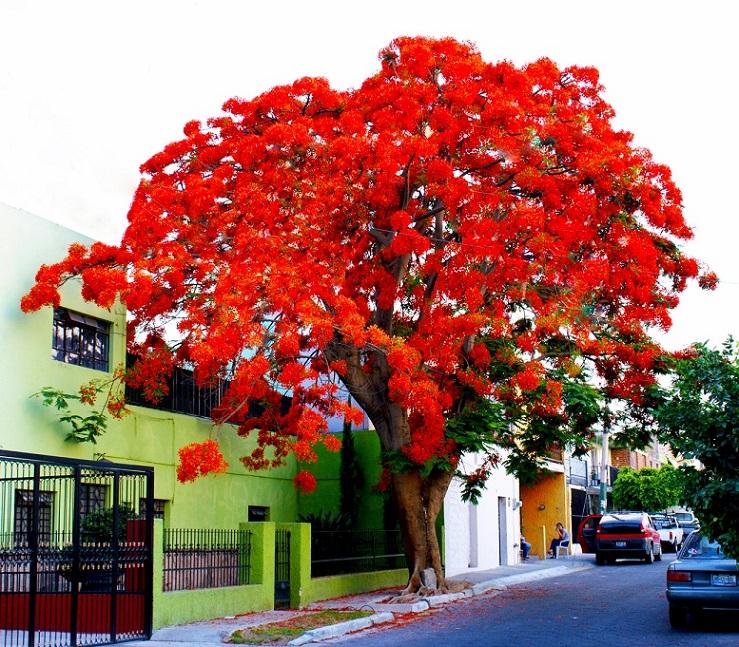 Sementes de Flamboyant Vermelho - Delonix regia - Pronta Entrega - Mundo das Sementes