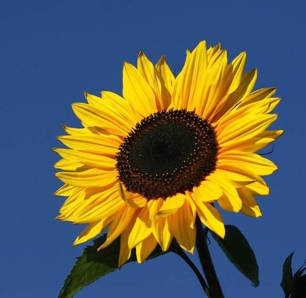 Sementes de Girassol Amarela - Feltrin