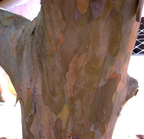 Sementes de Goiaba Vermelha - Psidium guajava var. rubra - Árvore - Mundo das Sementes