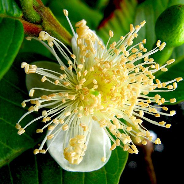 Sementes de Goiaba Vermelha - Psidium guajava var. rubra - Árvore - Pronta Entrega - Mundo das Sementes