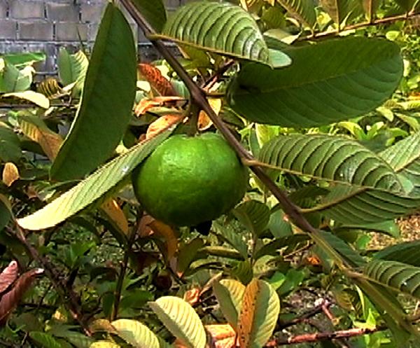 Sementes de Goiaba Vermelha - Psidium guajava var. rubra - Frutífera - Mundo das Sementes